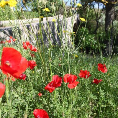 Poppies near the Pont des trois sautets - Aix en Provence