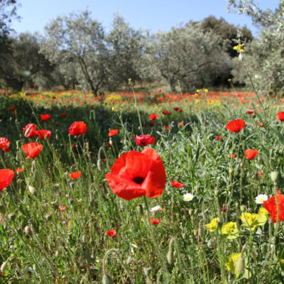 Poppies in spring in an olive grove